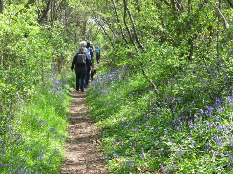 Walkers on path lined with bluebells.